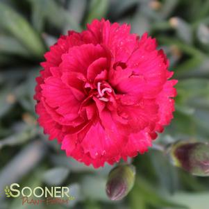 Dianthus x 'EARLY BIRD™ RADIANCE DIANTHUS'