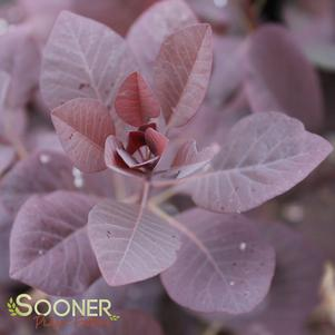 Cotinus coggygria 'WINECRAFT BLACK™ SMOKETREE'