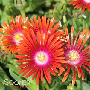 Delosperma dyeri 'RED MOUNTAIN® FLAME ICE PLANT'