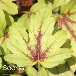Heucherella x 'FUN AND GAMES® EYE SPY FOAMY BELLS'
