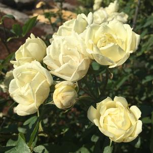 Rosa x 'THE CHAMPION™ IVORY ROSE'