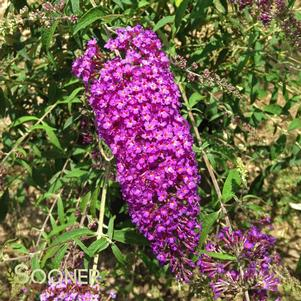 Buddleia davidii 'NANHO PURPLE BUTTERFLY BUSH'