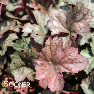 Heuchera x 'STAINLESS STEEL CORAL BELLS'