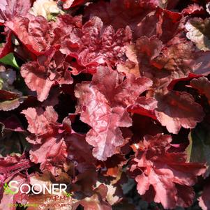 Heuchera x 'PRIMO® MAHOGANY MONSTER CORAL BELLS'