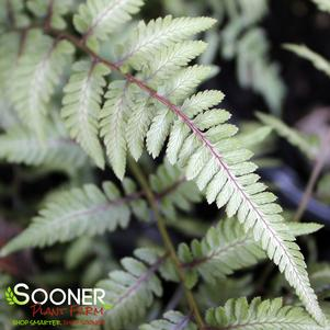 Athyrium x 'GODZILLA JAPANESE PAINTED FERN'