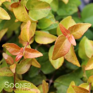 Abelia x 'PEACH PERFECTION® ABELIA'