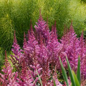 Astilbe chinensis 'MAGGIE DALEY ASTILBE'