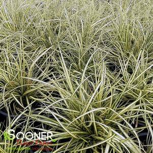 Carex hachijoensis 'EVERGOLD VARIEGATED SEDGE'