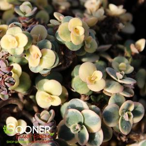 Sedum 'SUNSPARKLER® LIME TWISTER SEDUM'
