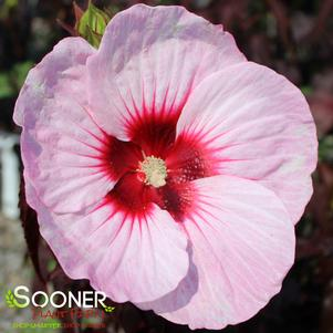 Hibiscus moscheutos 'CAROUSEL® JOLLY HEART HARDY HIBISCUS'