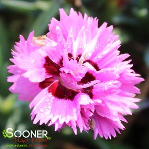 Dianthus x 'PRETTY POPPERS™ GOODY GUMDROPS DIANTHUS'