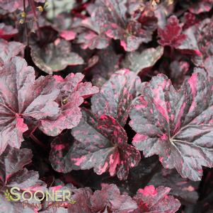 Heuchera x 'MIDNIGHT ROSE CORAL BELLS'
