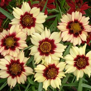 Coreopsis x 'AUTUMN BLUSH TICKSEED'