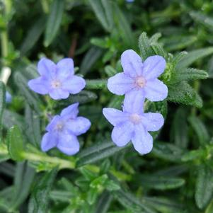 Lithodora diffusa 'GRACE WARD LITHODORA'