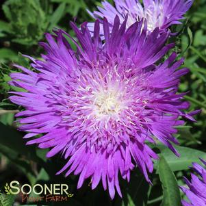 Stokesia laevis 'HONEYSONG PURPLE STOKES ASTER'