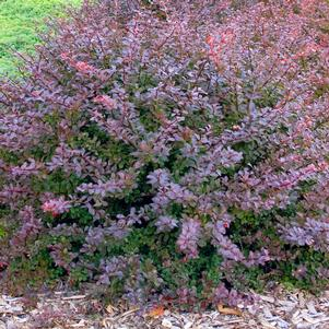 Berberis thunbergii 'COMPACT CRIMSON PYGMY BARBERRY'