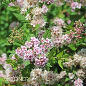 Spiraea japonica 'LITTLE PRINCESS SPIRAEA'