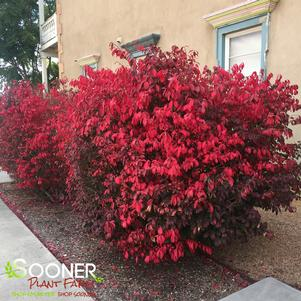 Euonymus alatus 'DWARF BURNING BUSH'