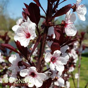 Prunus x cistena 'PURPLELEAF SAND CHERRY'