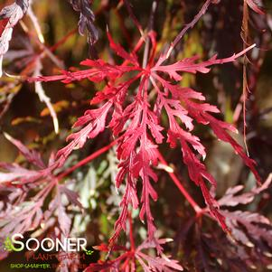 Acer palmatum dissectum 'RED SELECT WEEPING JAPANESE MAPLE'