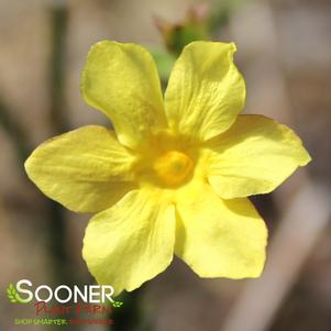 Jasminum nudiflorum 'WINTER JASMINE'